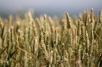 A wheat field in Warwickshire. - John Harris - 2010s,2013,agricultural,agriculture,arable,capitalism,capitalist,crop,crops,ear,ears,EBF,Economic,Economy,farm,farmed,farming,farmland,farms,field,fields,grow,grower,growers,growing,Industries,industr