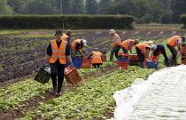 Lettuce pickers, migrant workers from Poland, Warwickshire - John Harris - 29-06-2013
