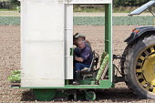 Local and migrant workers planting cabbage seedlings from a transplanter, a driverless self-propelled rig, Lancashire - John Harris - 2010s,2013,agricultural,agriculture,capitalism,capitalist,cultivation,EARNINGS,eastern,EBF,Economic,Economy,employee,employees,Employment,EQUALITY,eu,european,europeans,FARM,Farm Worker,farm workers,f