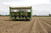 Local and migrant workers planting cabbage seedlings from a transplanter, a driverless self-propelled rig, Lancashire - John Harris - 28-08-2013