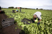 local workers harvesting iceberg lettuces, Lancashire - John Harris - 2010s,2013,agricultural,agriculture,by hand,capitalism,capitalist,crop,crops,cut,cutter,cutters,cutting,EARNINGS,EBF,Economic,Economy,employee,employees,Employment,EQUALITY,FARM,Farm Worker,farm worke