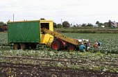Local and migrant workers harvesting cabbages in a field, at the front of a driverless self-propelled vegetable harvesting rig, Lancashire - John Harris - 28-08-2013