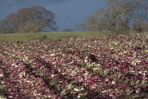 Lettuce crop ruined by rainfall in a waterlogged field, Warwickshire - John Harris - 06-01-2014