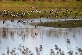 Lapwings in flight, Brandon Marsh Nature Reserve, Warwickshire Wildlife Trust, Coventry - John Harris - 17-01-2014
