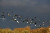 Lapwings in flight, Brandon Marsh Nature Reserve, Warwickshire Wildlife Trust, Coventry - John Harris - 2010s,2014,animal,animals,bird,birds,conservation,country,countryside,eni,environment,Environmental Issues,flight,FLIGHTS,fly,flying,lapwing,lapwings,marsh,marshes,marshland,marshlands,Nature,Nature R