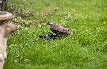 A female Sparrowhawk with prey- a male blackbird in a garden. - John Harris - 12-03-2014