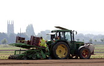 Planting lettuce on a salad crop farm, Warwickshire - John Harris - 18-07-2014