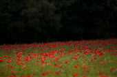 A field of poppies, Cotswolds hills, Worcestershire - John Harris - 20-07-2014