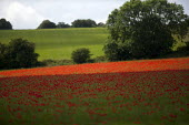 A field of poppies, Cotswolds hills, Worcestershire - John Harris - 2010s,2014,agricultural,agriculture,arable,Broadleaf Tree,capitalism,capitalist,Cotswold Hills,Cotswolds,country,countryside,crop,crops,EBF,Economic,Economy,eni,environment,Environmental Issues,farm,f