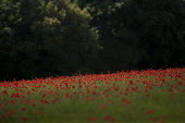 A field of poppies, Cotswolds hills, Worcestershire - John Harris - 2010s,2014,agricultural,agriculture,arable,capitalism,capitalist,Cotswold Hills,Cotswolds,country,countryside,crop,crops,EBF,Economic,Economy,eni,environment,Environmental Issues,farm,farmed,farming,f