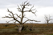 Dead tree, Saltmarsh, Porlock Bay, Somerset - John Harris - 08-11-2014