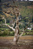 Dead tree, Saltmarsh, Porlock Bay, Somerset - John Harris - 2010s,2014,Broadleaf Tree,coast,coastal,Coastal Erosion,coasts,costal defences,country,countryside,Dead,eni,environment,Environmental Issues,eroded,erosion,marsh,marshes,marshland,marshlands,nature,ou
