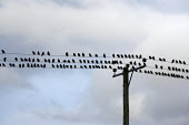 A flock of Starlings sitting on telegraph wires, Saltmarsh, Porlock Bay, Somerset - John Harris - 08-11-2014