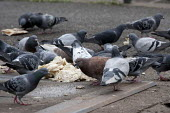 Feral pigeons (Columba livia domestica) eating bread, Handsworth, Birmingham - John Harris - 2010s,2013,animal,animals,away,bird,birds,Birmingham,eating,eni,environment,Environmental Issues,feed,feeding,feeds,feral pigeon,feral pigeons,food,FOODS,litter,nature,pest,pests,pigeons,REFUSE,rubbis