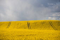 Rain clouds above farmlamd, oilseed rape with tractor tracks. Warwickshire - John Harris - 2010s,2015,agricultural,agriculture,Brassica,capitalism,capitalist,cloud,clouds,country,countryside,crop,crops,EBF,Economic,Economy,eni,environment,Environmental Issues,farm,farmed,farming,farmland,fa