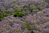 Borage growing in a field, Warwickshire. The herb is cultivated for Borage seed oil. - John Harris - 25-06-2015
