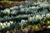 Common Snowdrops - Galanthus Nivalis growing in a wood in a nature reserve in Warwickshire. - John Harris - 25-01-2004