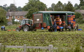 Workers picking lettuce in a field in Warwickshire behind a tractor and trailer. - John Harris - 29-07-2011