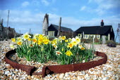 Daffodils grow out of the shingle garden of the late Derek Jarman, gay theatre and film director. Prospect Cottage, Dungeness, Romney Marsh, Kent. - Jess Hurd - 06-04-2003