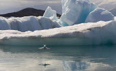 An Artic Tern fishing in the rapidly expanding Jokulsar Lagoon with icebergs created from the retreating Breidamerkurjokull glacier which is an outlet glacier of Vatnajokull, the largest ice cap in Eu... - Jess Hurd - 22-07-2006