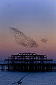 Starlings gathering at sunset to roost on Brighton's Victorian West Pier, Brighton. - Jess Hurd - 20-10-2007