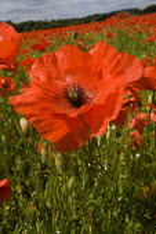 Poppy field Blackstone Nature Reserve, Worcestershire Wildlife Trust. - Jess Hurd - 19-06-2010
