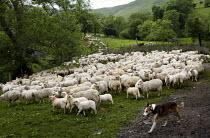 Herd of sheep Snowdonia National Park, Wales. - Jess Hurd - 14-06-2010