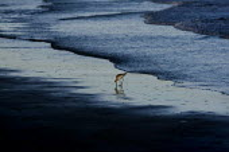 A wader feeding amoungst the BP oil spill. Grand Isle beach, Louisiana. USA. - Jess Hurd - 21-08-2010