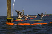 Pelicans on an oil covered containment boom after the Gulf of Mexico BP oil spill. Grand Isle, Louisiana. USA. - Jess Hurd - 10-08-2010