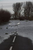 Swans crossing the road. Flooding in Whittlesey, Fenland, Peterborough. Cambridgeshire. - Jess Hurd - 26-12-2012