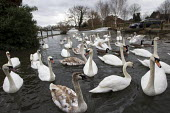 Swans and River Thames flooding, Chertsey, Surrey. - Jess Hurd - 23-02-2014