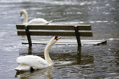 Swans and Thames flooding, Datchet, Surrey. - Jess Hurd - 23-02-2014