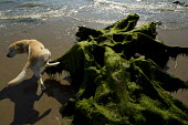A dog urinating. Tywyn beach, where storms revealed a Bronze age petrified forest, Powys, Wales. - Jess Hurd - 18-06-2014