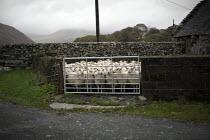 Sheep in a pen nr Bird Rock, Craig yr Aderyn. Tywyn, Dysynni Valley. Snowdonia National Park. Wales. - Jess Hurd - 25-10-2014