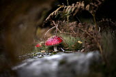 The Fly Agaric toadstool, or fairytale fungus. Dolgoch Falls. Snowdonia National Park. Wales. - Jess Hurd - 26-10-2014