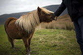 Wild, friendly ponies in the Devil's Valley or Nant yr Eira Valley. Snowdonia National Park. Wales. - Jess Hurd - 29-10-2014