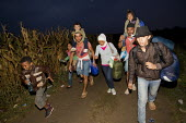 Refugees run through corn fields to the Tovarnik, Croatia border crossing. Serbia. - Jess Hurd - 20-09-2015