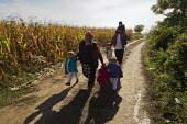Family of four refugees make their way through corn fields towards the Tovarnik, Croatia border crossing. Serbia. - Jess Hurd - 21-09-2015