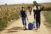 Refugees run through corn fields towards the Tovarnik, Croatia border crossing. Serbia. - Jess Hurd - 21-09-2015