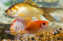 Goldfish swimming in a fishtank. - Paul Carter - 10-07-2007