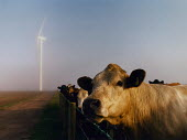Cows with a wind turbines in the background. Cumbria. - Paul Carter - 17-07-2000