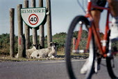 Bicycle passes sheep lying by the roadside, under a traffic sign. - Paul Carter - 09-07-1994