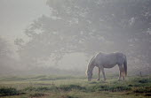Pony grazing in a field on a misty morning. - Paul Carter - ,1980s,1988,animal,animals,collar,country,countryside,creature,dawn,domestic,domesticated ungulate,domesticated ungulates,eat,eating,ENI environmental issues,equestrian,equine,food,FOODS,grass,graze,g