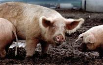 A boar on a free range pig farm. - Paul Carter - 18-04-1991