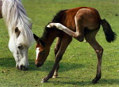New Forest pony with its foal which is scratching. - Paul Carter - 01-06-1991