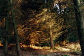 Late afternoon sunlight falling onto an area of pine trees in the New Forest. - Paul Carter - 18-08-2000