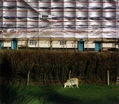 Sheep grazing near a hedge. In the distance the wind blows a pattern on the cladding of a scaffolding structure protecting some old houses being renovated. - Paul Carter - 01-04-1995