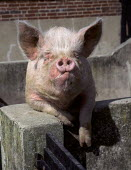 Pig looking over it's pen wall. - Paul Carter - 27-03-1998