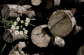 Pile of logs with cow parsley in a forest - Paul Carter - 1980s,1989,bark,british,conservation,cow parsley,cut,ebf,Economic,economy,energy,ENI,environment,environmental issues,fell,felled,flower,flowering,flowers,forest,forestry,fuel,log,native,natural,natur