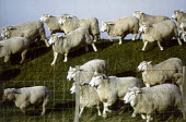 A herd of sheep running over a bank. - Paul Carter - 27-03-1998